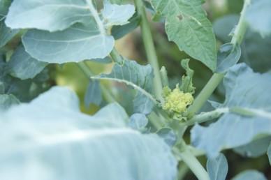 Broccoli forming a head