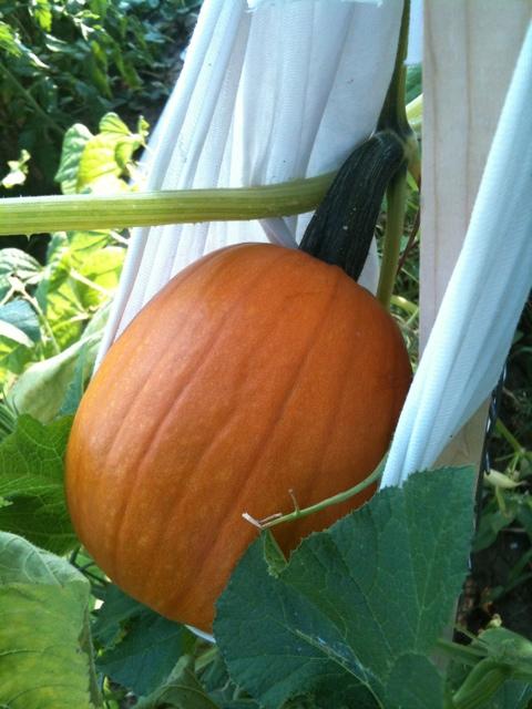 Small Sugar Pumpkin