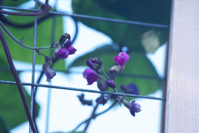 Purple Podded Pole Bean Flowers