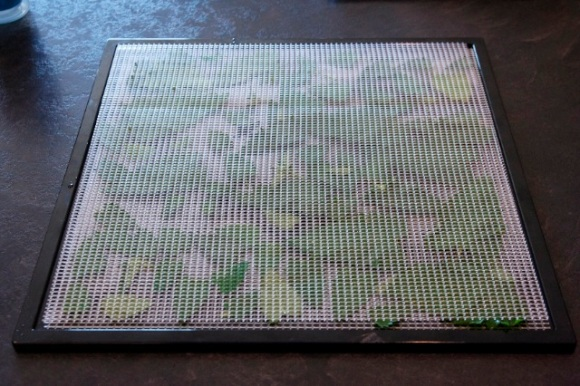 Catnip on Excalibur Dehydrator Tray