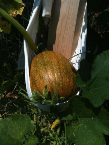 Pumpkins Changing Color