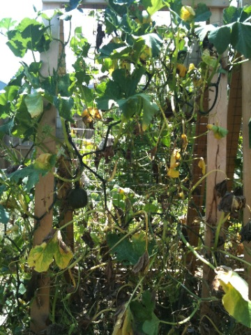 Pumpkin Vines Dying