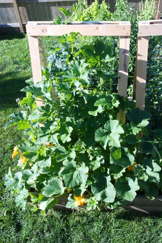 Small Sugar Pumpkins on Trellis