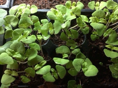 Chia Seedlings