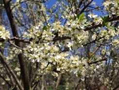 White Fruit Tree Flowers