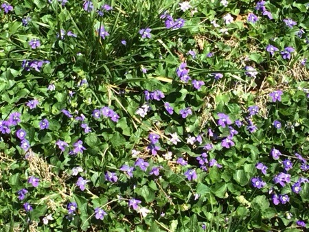 Purple Flower Ground Cover
