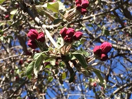 Red Apple Tree Buds