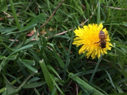 Dandelion and Honey Bee