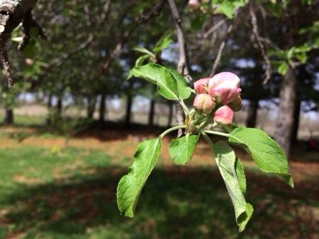 Pink Apple Tree Buds
