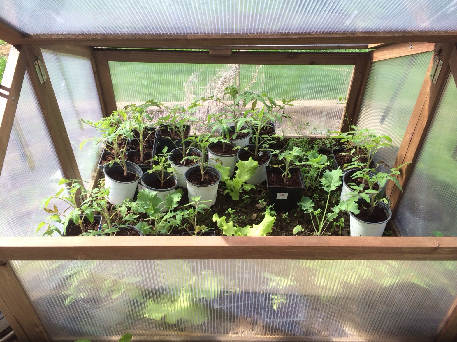 Tomato Seedlings in a Cold Frame