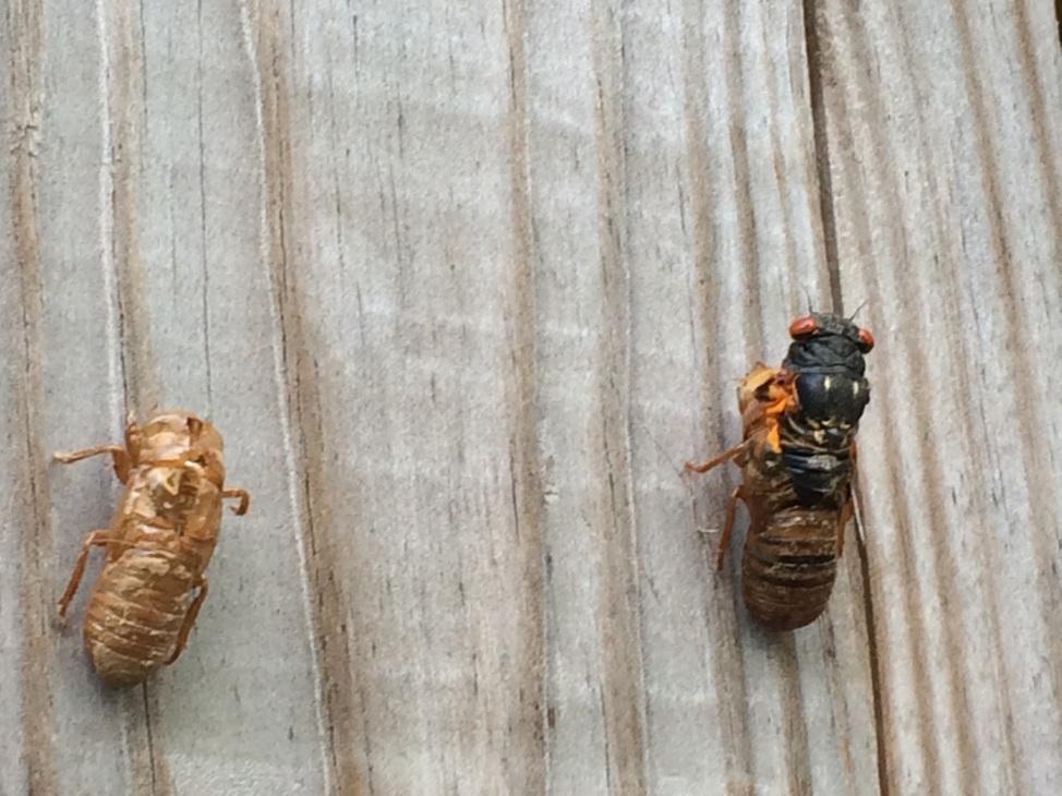 Cicada emerging from exoskeleton