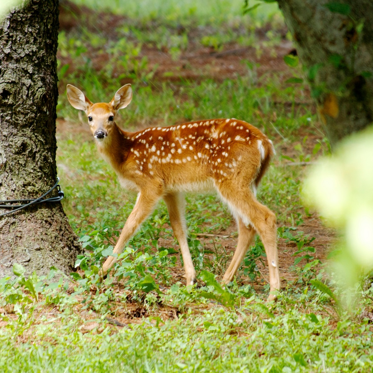 fawn in the front yard