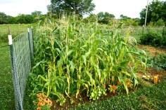 Double Standard Sweet Corn
