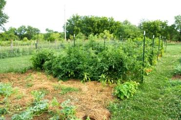 Tomatoes on Cattle Panel Trellis