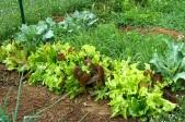Lettuce Mix, Broccoli, Cauliflower and Wheat