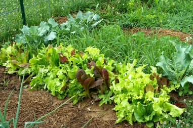 Lettuce Mix, Broccoli, Cauliflower and Wheat