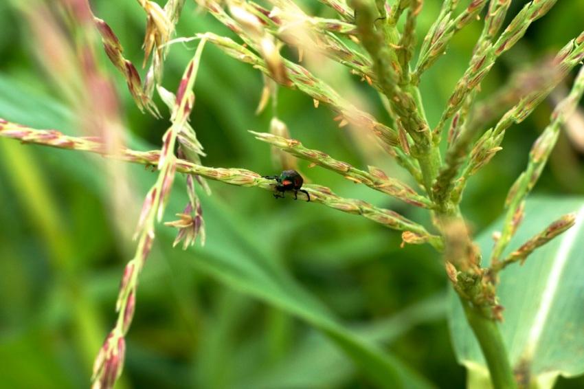 Japanese Beetle on Corn Tassel