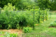 Garden Cattle Panel Trellises