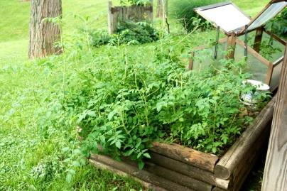 Volunteer Yellow Riesentraube Tomato Jungle